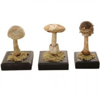 208Auzoux-fungi-set6-Van-Leest-Antiques-350x350.jpg