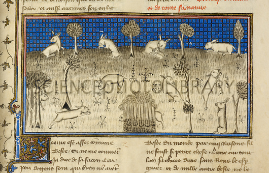 C0171222-Hunting_rabbits,_14th-century_manuscript-SPL.jpg