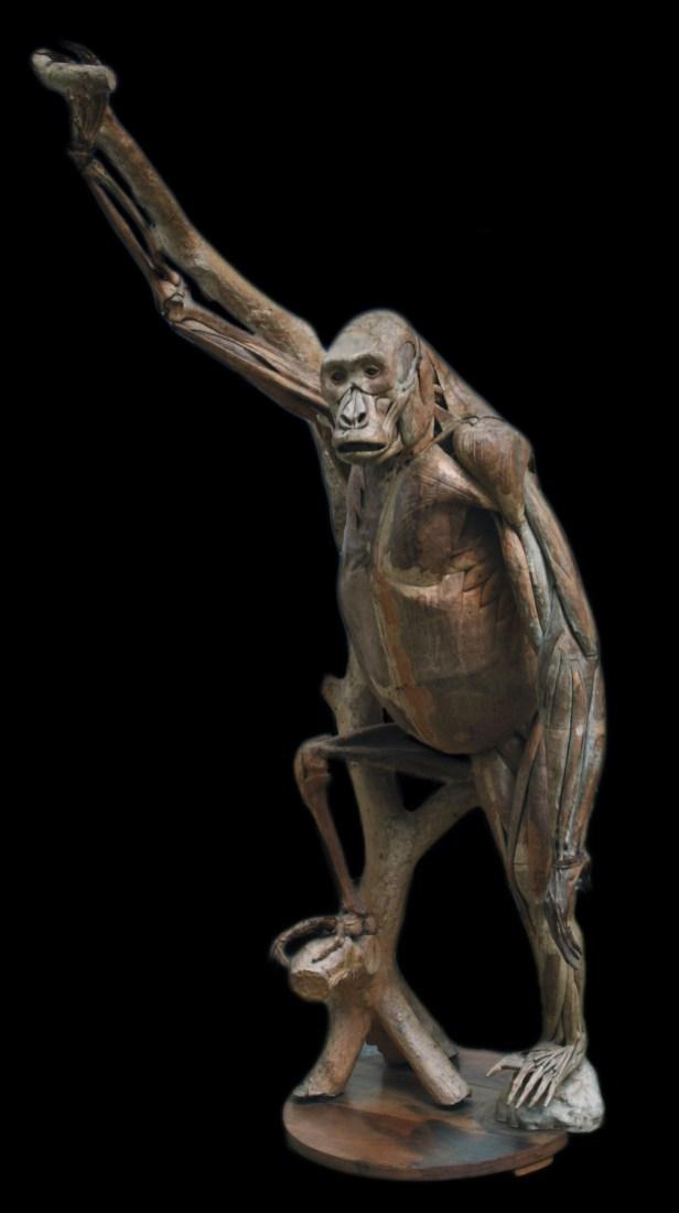 modele-anatomique-docteur-Auzoux-1820-21.jpg